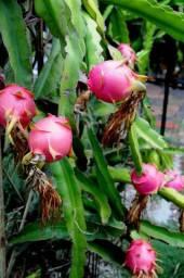 Vendo Mudas de Pitaya Para o Cultivo.