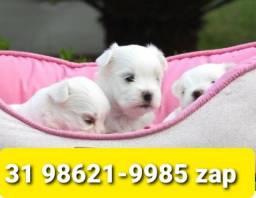 Filhotes Belos Cães BH Maltês Poodle Yorkshire Shihtzu Basset Poodle