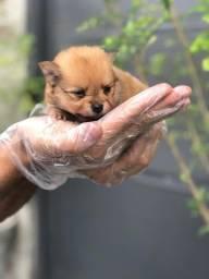 Lulu da Pomerania M/F com suporte veterinário e garantia de saúde (tudo em contrato) $$