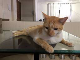 Título do anúncio: Adoção responsável Gato macho castrado