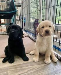 Maravilhosos filhotes de Labrador