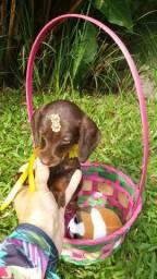 Dachshund teckel linguicinha chocolate mini linda fêmea