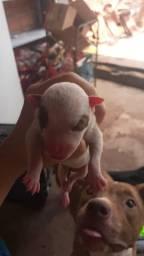Filhote de pitbull puro