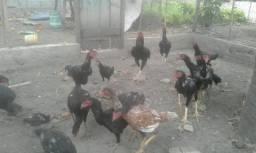 Frangas frangos indios