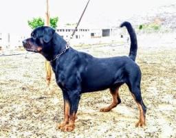 Rottweiler disponível para cruza (Tango Dunas Rott Fortaleza),