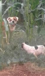 Bulldog Americano urgente