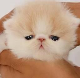 Filhotes Gatos Persa