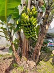 Doa - se muda de banana nanica