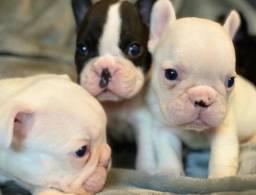 Maravilhosos filhotes de Bulldog Francês