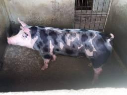 Venda de Porco de Raça Frete Grátis
