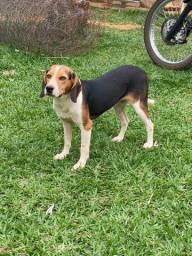 Vendo ou troco Beagle fêmea
