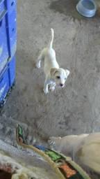 Vendo filhote de pitbull