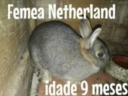 Casal coelhos Netherland