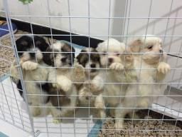 Vendo filhotes Lhasa Apso