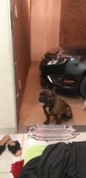 Macho bulldog francês disponível pra cobertura ótima linhagem