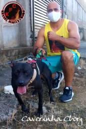 American Pit Bull Terrier de excelente procedência.  (Ped on-line)