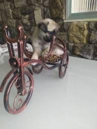 Fêmeas de mini Pug disponíveis pronta entrega!