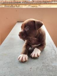 Pitbull fêmea RedNose