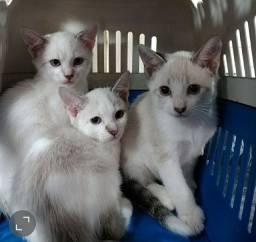 Gatinhos olhos azuis para adoção