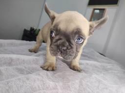 Título do anúncio: Bulldog francês fêmea blue fawn