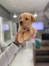 Filhotes de Labrador Disponível em Loja