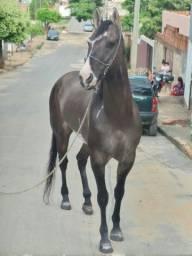 Cavalo paint horse e potra a venda