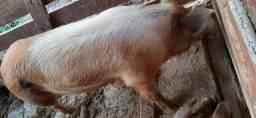 Vendo leitão e porcos