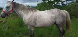 Vendo Belíssimo cavalo quarto de milha puro de origem com documento na mão