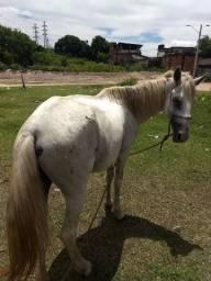 Cavalo pai apaloosa