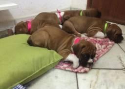 4 boxer, duas femias e dois machos