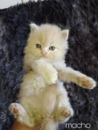 Título do anúncio: Gatinhos persa Himalaio