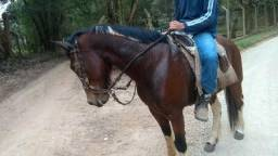 Cavalo crioulo tubiano