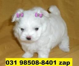 Canil Top Cães BH Filhotes Maltês Beagle Basset Fox Yorkshire Shihtzu Lhasa