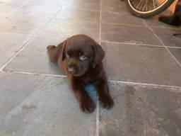Labrador chocolate fêmea