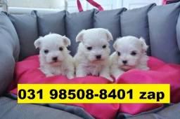 Canil Lindos Filhotes Cães BH Maltês Beagle Lhasa Basset Yorskhire Shihtzu Poodle