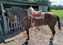 Cavalo de patrão de barbada