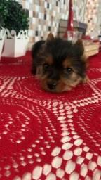 Título do anúncio: Lindo filhote yorkshire terrier top