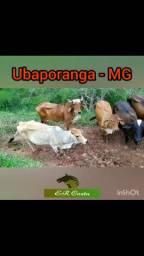 Vendo 5 vacas solteiras