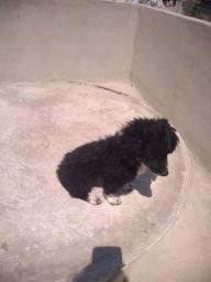 Título do anúncio: Doa-se Filhote macho Poodle