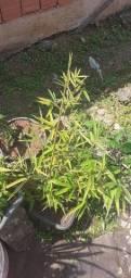 Título do anúncio: Plantas para Jardim