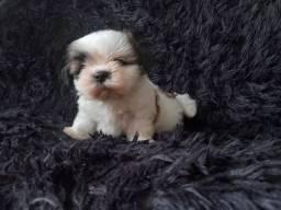Maravilhoso filhote de microo Shih Tzu puríssimo