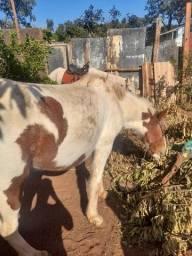 Vendo dois cavalo