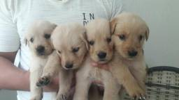 Golden retriever filhotes 27 99668-1558
