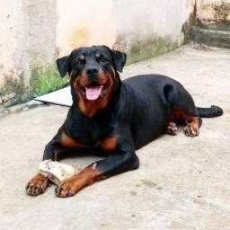 Rottweiler Cão de Função
