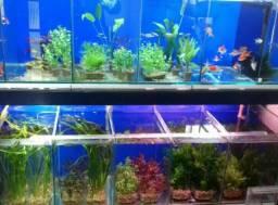 Plantas aquário, plantas aquáticas, plantados low tech, plantados hi tech