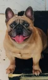 Disponíveis P/ Coberturas Bulldog Frances Blue Exótico