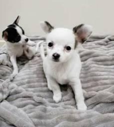 Estou doando dois filhotes de chihuahua