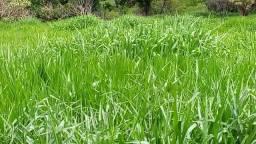 Fazenda com cana município de campo florido