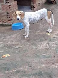Beagle x americano