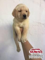 Labrador chocolate/amarelo/preto, fêmeas a pronta entrega com garantia total de saúde